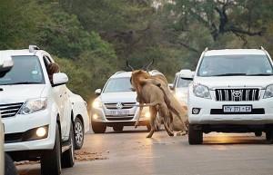 شکار شیرها در جاده