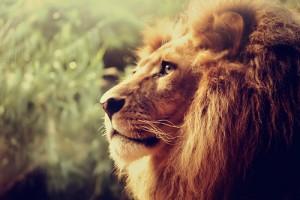 تصاویر حیرت انگیز از شیر، سلطان جنگل