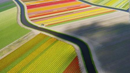 از این بالا مزرعههای گل لاله مانند ربانهای رنگی در کنار یکدیگر هستند.