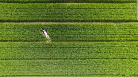کشاورزهای چینی قبل از برداشت محصول!